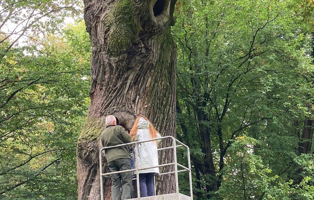 Badanie drzewa Dąb Józef, 08.10.2020